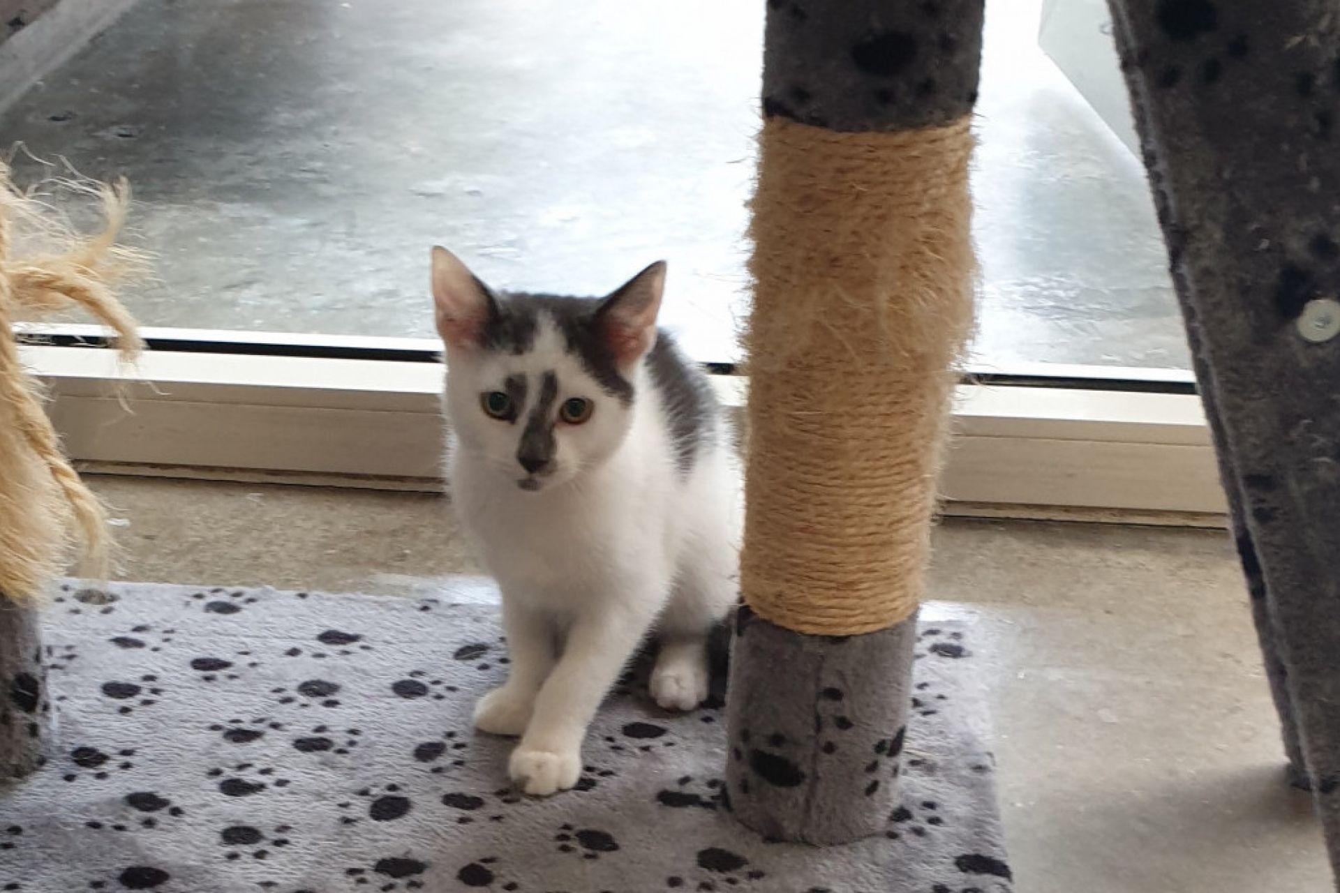 kitten Ikki