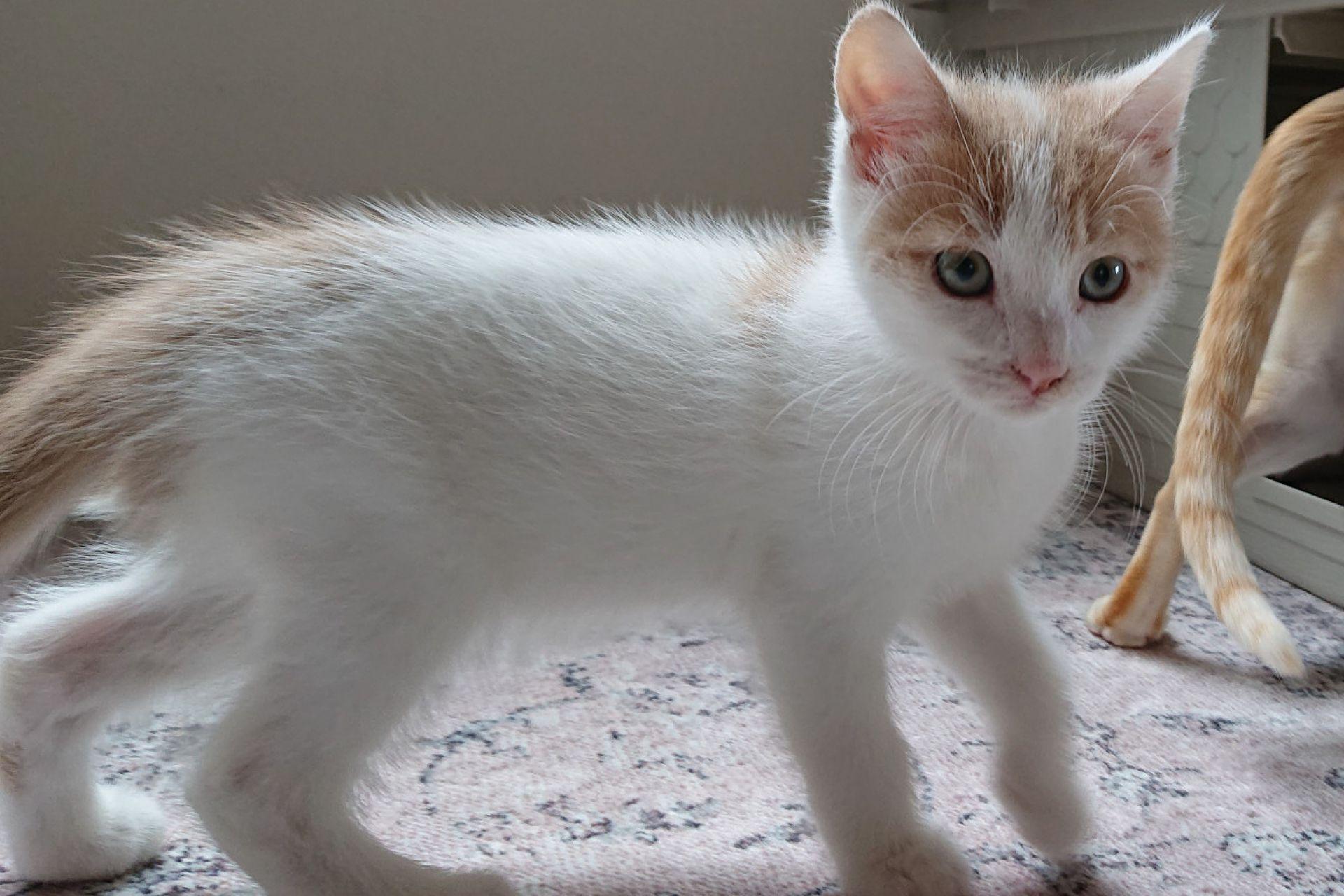 kitten CJ