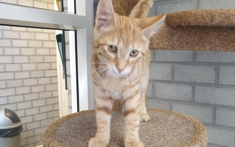 kitten Henzo